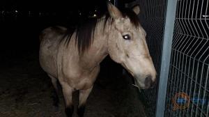 סוס באסקין