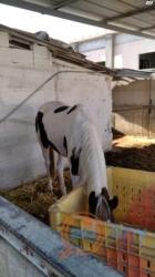 מכירה סוסים, 6 גיל, נקבה מין, ₪25000